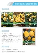 黃油蟠桃苗多少錢一棵圖片