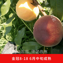 极早熟油桃新品种桃树新品种黑桃皇后图片