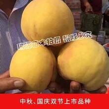 砀山黄桃哪个品种好吃_红心李苗和黄桃苗哪里有卖的图片