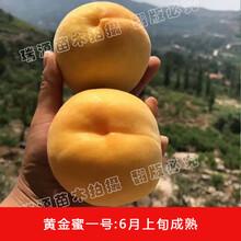 黄金蟠桃树苗价格图片