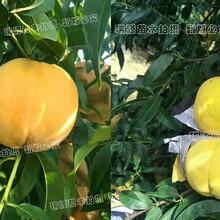 黃蟠桃品種晚熟_黃桃83品種圖片