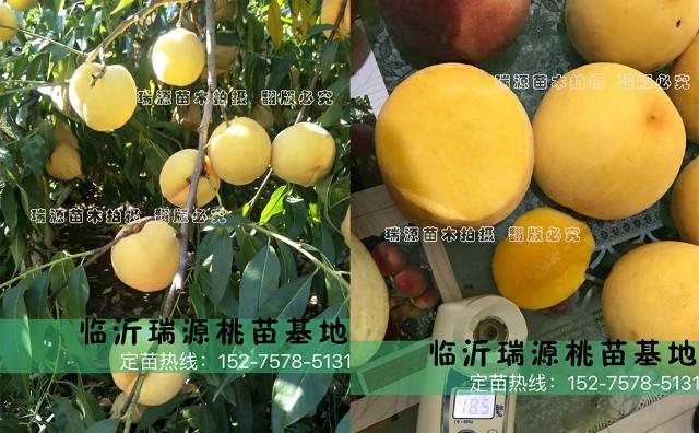 中蟠桃19号品种介绍_1晚熟的黄桃品种