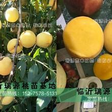 极早熟桃树苗_极早熟桃树苗新品种桃介绍图片