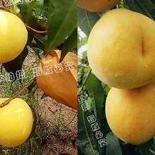黄贵妃黄桃树苗图片