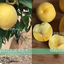 毛蟠桃早熟有什么新品種_河南黃金油蟠桃樹苗圖片