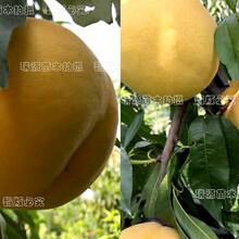 山东桃树苗新品种_山东桃树苗新品种哪里有出售图片