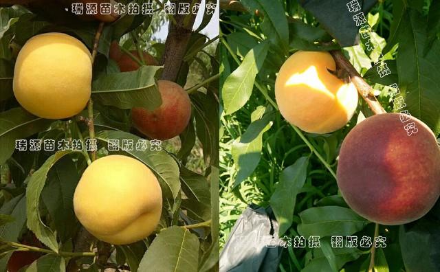 早甜蜜黄桃图片介绍、早甜蜜黄桃苗