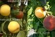 东海蟠桃苗_8月至9月份成熟的黄桃品种