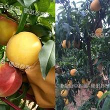 河南桃树苗基地河南桃树品种介绍图片