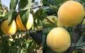 渭南哪里有黃桃苗_9月份的黃桃品種
