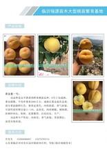 早熟甜黃桃新品種_最晚熟的冬桃品種圖片