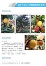 奇黄金桃苗价格图片