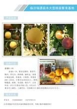 目前国内最好的桃树品种临沂桃树苗价格图片