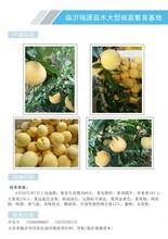 哪里买桃树种苗冬桃品种映霜红图片