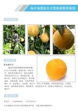 最新上市黃桃苗_山東晚熟高產桃苗出售圖片