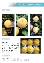 黃桃品種南非桃苗_晚熟黃桃苗價格圖片
