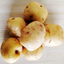 恩施富硒土豆老品種馬爾科圖片