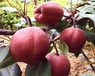 武夷山早酥红梨价格-早酥红梨多少钱一颗
