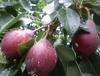 武夷山全红梨价格-全红梨价格趋势