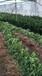 江西紅肉臍橙苗種苗