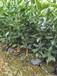 廣東紐荷爾臍橙種植技術