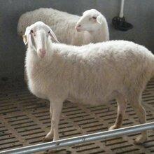 內蒙古湖羊養殖基地在哪里圖片