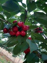 红灯樱桃苗管理图片