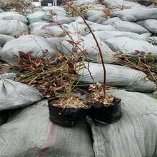 云南穴盘蓝莓苗几月份种植图片