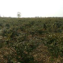 新疆山东蓝莓苗苗圃图片