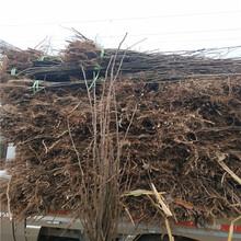 重庆2年梨树苗苗圃图片