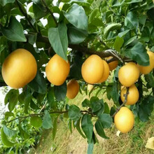 四川1年梨树苗供应图片