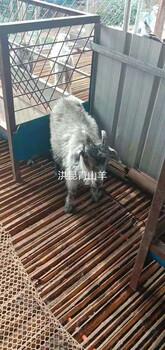 黑龙江青山羊养殖场