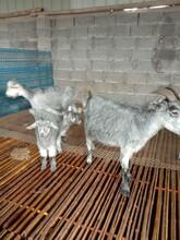 內蒙青山羊養殖場圖片
