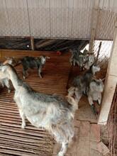 安徽青山羊養殖場圖片