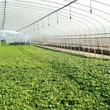 河池简易蔬菜大棚种植暖棚春秋拱棚椭圆管拱棚定制图片