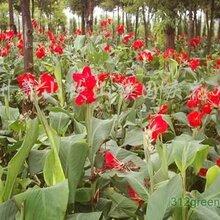 河北紅花美人蕉種植基地