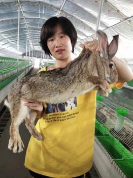 张家口种兔种兔多少时间产一窝一窝产多少只张家口
