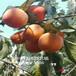 嫁接柿子樹苗,柿子樹怎么不發芽,柿子樹苗報價