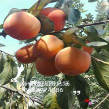 哪里有柿子树苗,次郎柿子树苗,柿子树图片