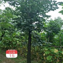 柿子树苗多少钱,10公分柿子树,哪里可以买到柿子树图片