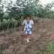 嫁接柿子樹苗,想買柿子樹苗,3公分柿子樹
