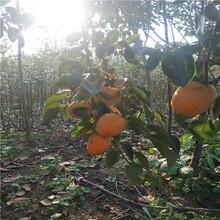 甜柿子树苗,想买柿子树苗,柿子树几年结果图片