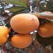 哪里出售柿子樹苗,次郎柿子樹苗,柿子樹幾年結果