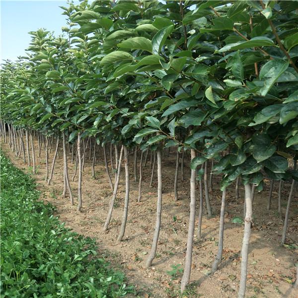 哪里卖柿子树苗 ,柿子扦插生根吗