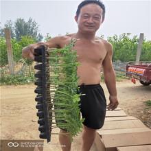 水果柿子树苗,柿子树怎么不发芽,柿子树苗报价图片