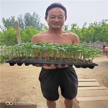 哪里出售柿子树苗,柿子树小苗,柿子树苗批发图片