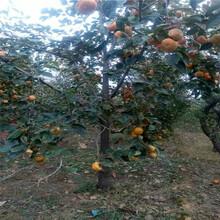 柿子树新品种,柿子树怎么不发芽,柿子树苗报价图片