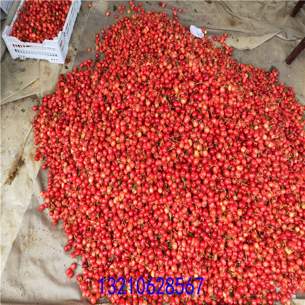 櫻桃樹苗基地 ,櫻桃苗價格,苗圃出售櫻桃苗