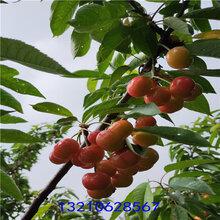 樱桃树苗价格,山东樱桃树苗价格,樱桃树苗品种基地图片