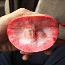 鸡心小苹果树苗,中秋王苹果苗图片